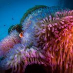 Reef Encounter - Coral Anemone